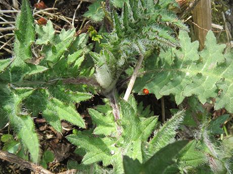 2014 5 25 伊吹山の植物達2