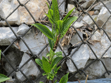 2014 5 25 伊吹山の植物達6