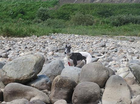 2014 7 28 ココアと長良川15