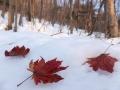 今頃葉を落としていたコハウチワカエデ