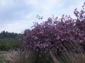 追廻の八重桜