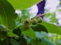 ナツハゼの花