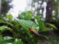 ヘリグロリンゴカミキリ