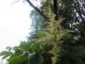 ヌルデの花