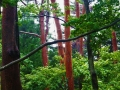 雨に濡れて赤松の赤が目立ちます