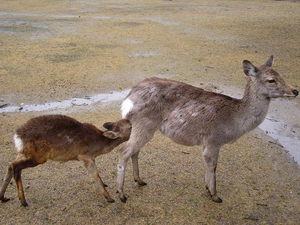 2014年お水取り_小鹿