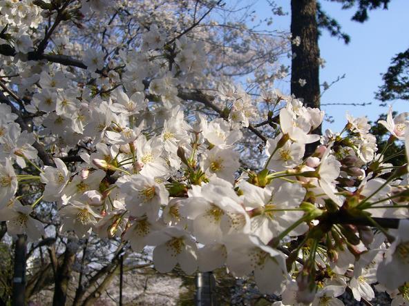 2014お花見v_桜