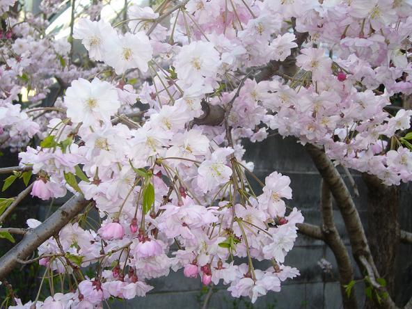 2014お花見v_八重桜