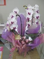 s紫胡蝶蘭