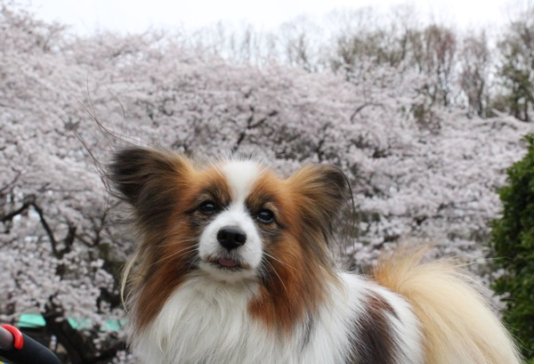 桜リッキー