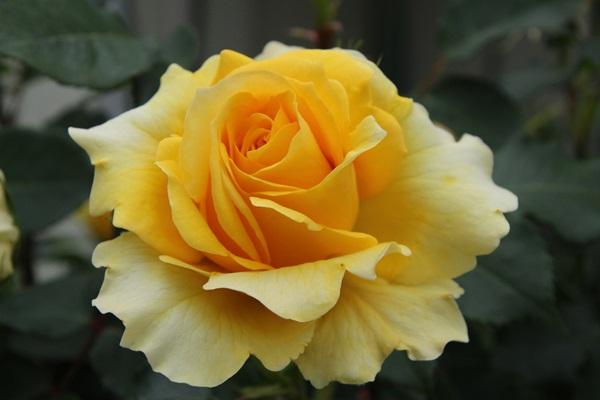 キイロのバラ