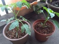 家庭菜園 019