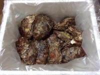 象潟産牡蠣