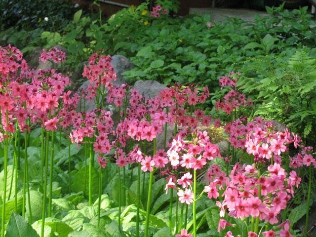 前庭のクリン草