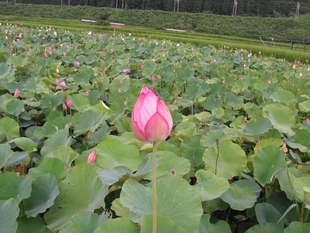 8月7日蓮の花開く