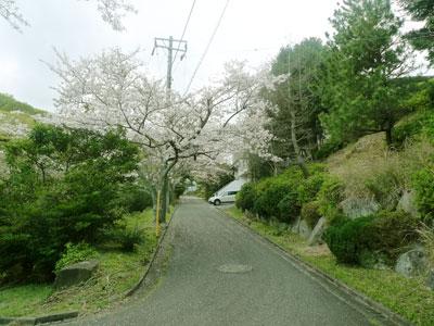 2014桜満開