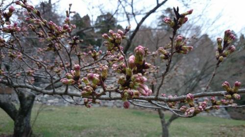 高取城跡・桜のつぼみ