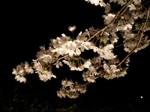 石舞台古墳・夜桜④