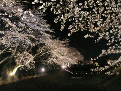 石舞台古墳・夜桜③