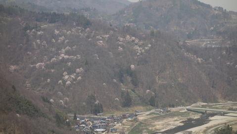 犀川と山桜