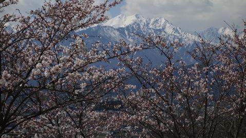 大町山岳博物館の桜