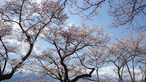 大町山岳博物館から見た桜と北アルプス