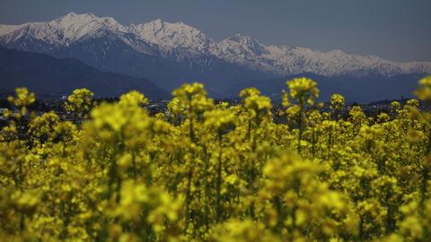 後立山連峰と菜の花