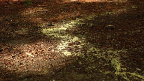 赤松の花粉