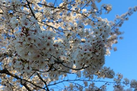 お花見2014 252
