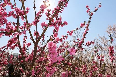 お花見2014 105