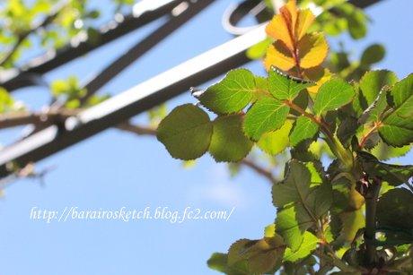 バラの葉1