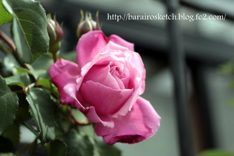 ミサト開花1