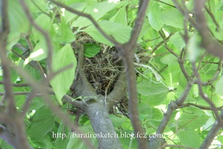 尾長鳥の巣