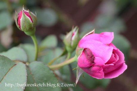 ミサト2番花の蕾1