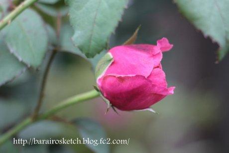 ミサト2番花の蕾3