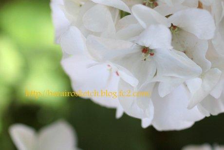 白いゼラニウム1