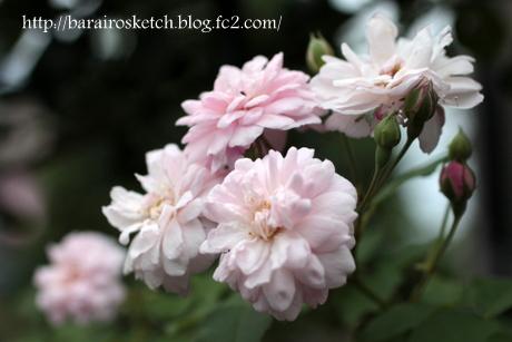 ブラッシュノアゼット2番花6