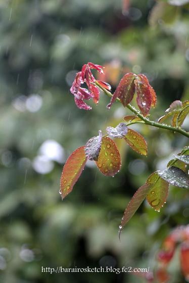 雨のピエール1