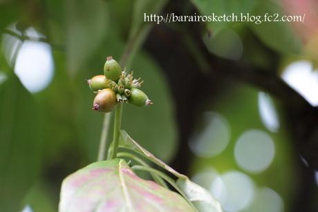 ハナミズキ緑の実