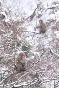 雪猿。_800