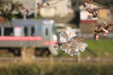 桜咲いたよ。_800