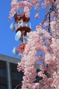 枝垂れ桜とアンテナ。_800