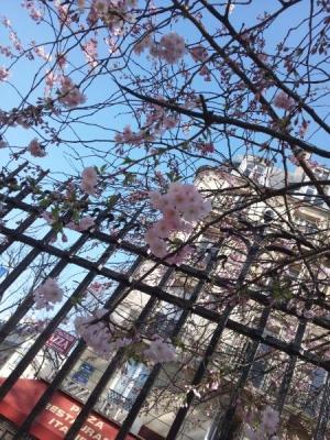 sakura(1).jpg