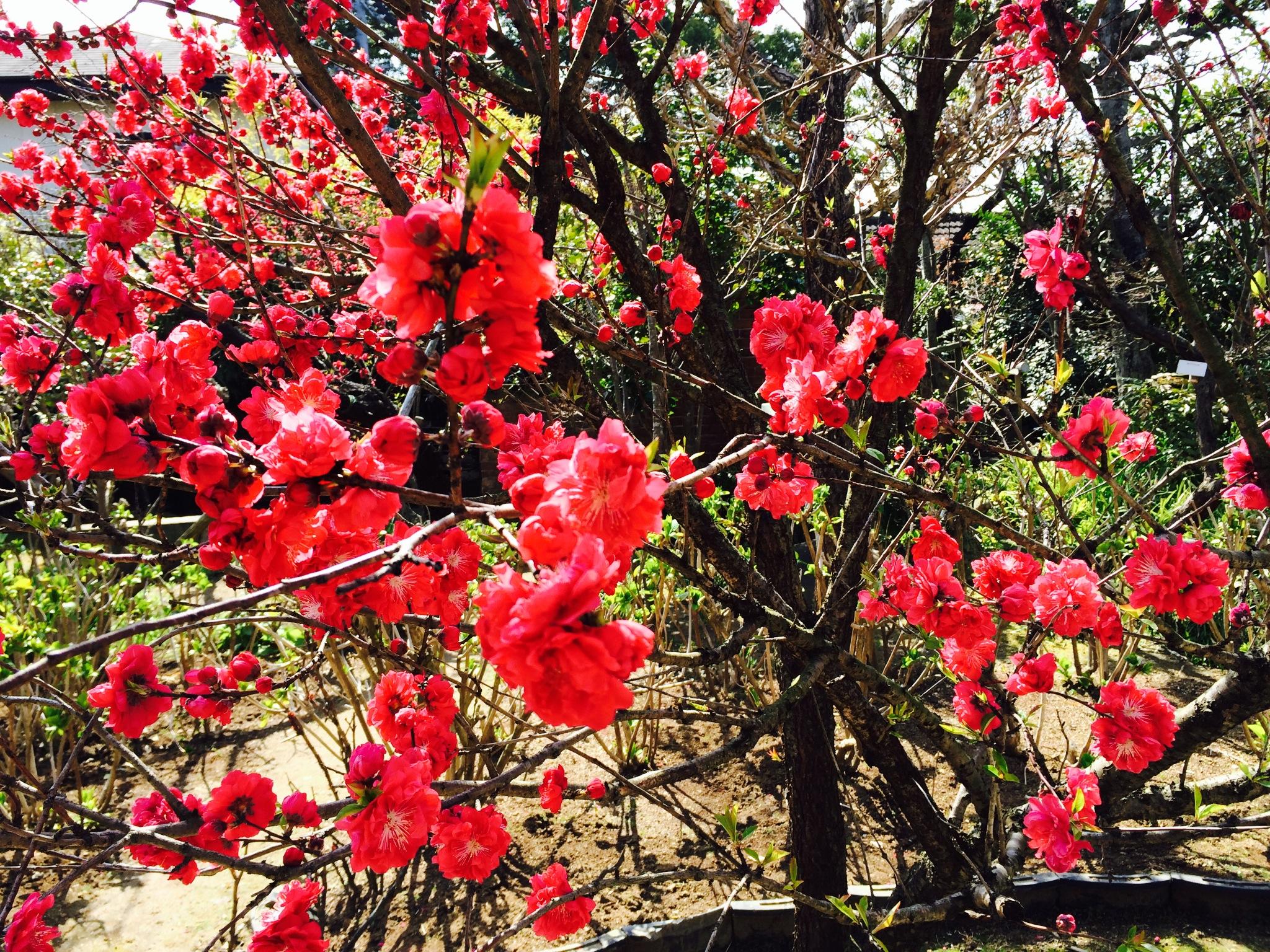 興福寺のお庭の桃