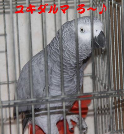 4_ユキダルマ