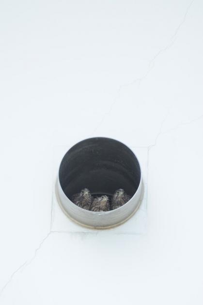チョウゲンボウ140608-2