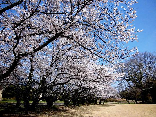 1 14.4.1 ブログ用桜 (8)