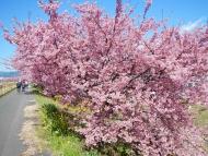 朝比奈川の河津桜