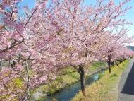 高草川の河津桜