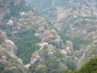 竜爪山のヤマザクラ
